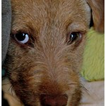 Dugan, a 4 month old Dachshund/Terrier Mix available for adoption
